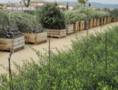 Venta de olivos en Vivero de olivos Encinarejo de Cordoba